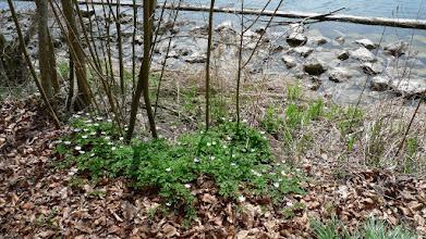 Photo: überall blüht es hier im wald - buschwindröschen