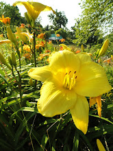 Photo: Yellow and orange lilies at Cox Arboretum in Dayton, Ohio.