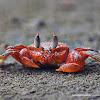 Cangrejo Carretero Rojo (Ghost crab)