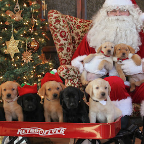 by Julie Anderson - Public Holidays Christmas ( puppies, pwcholidays, santa, dog, labrador, lab )