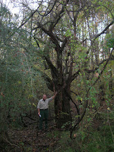 Photo: In Nacogdoches County, District Forester John Boyette poses next to the national champion Blueberry Hawthorn (Crataegus brachyacantha).