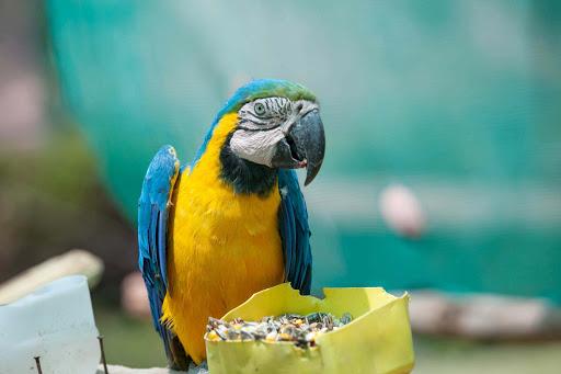 A Brazilian parrot at Santuario Animal de Cochahuasi near Cusco, Peru.
