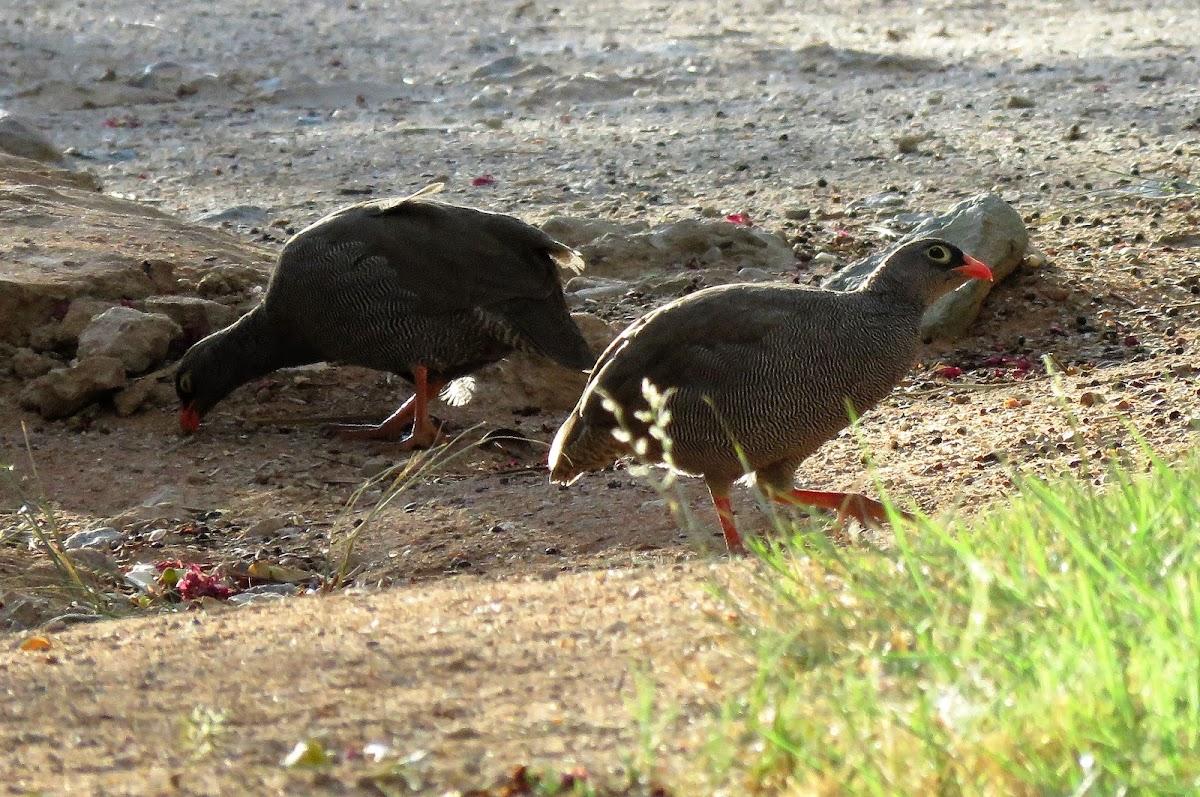 Red-billed Francolin