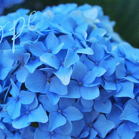 Blue hope by Pamela Hammer - Typography Words ( blue hydrangea, illustration, typography, hope,  )