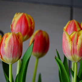 Tulips by Luciano Lucky - Novices Only Flowers & Plants ( flower )