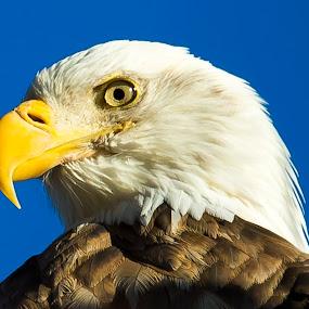 Surveying His Domain by Jerry Alt - Animals Birds ( eagle, majestic, bald, eye, profile )