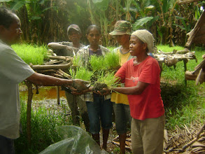 Photo: Transplanting Rice in Timor Leste.  [Photo courtesy of Movimento Co-operativa Econômica Agricoltura  (MCE-A) SRI program, Timor Leste, July 2015]