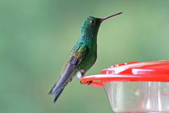 Photo: Copper-rumped Hummingbird