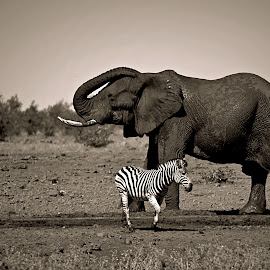 At the waterhole by Pieter J de Villiers - Black & White Animals
