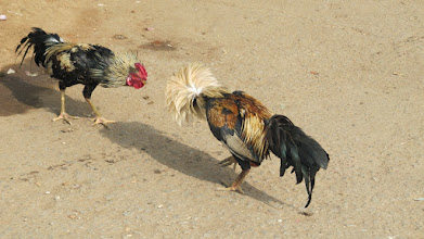 Photo: Fighting cock. See the face display be the first cock.