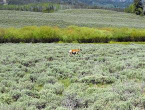 Photo: Prong Horned Antelope, Home, Home On The Range