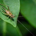 Trigonidiinae