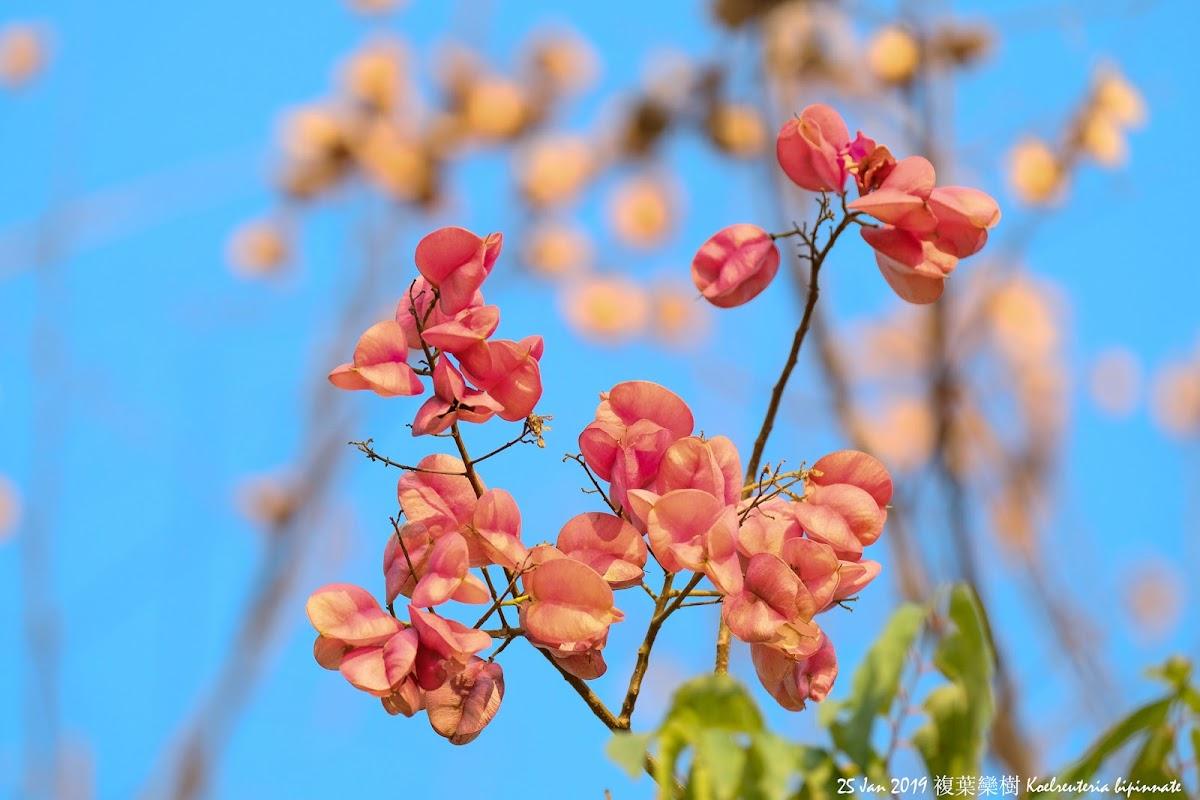 Koelreuteria bipinnate 複葉欒樹
