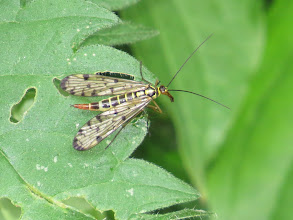 Photo: 27 Jun 13 Priorslee Lake: Another scorpion fly: with fewer spots on the wings this may be Panorpa germanica (rather than Panorpa communis), but examination of the genitalia is required to confirm! (Ed Wilson)