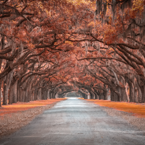 Live Oak Trail, Wormsloe Plantation  by Andy Taber - Landscapes Forests ( savannah, wormsloe plantation, live oak path, ga,  )