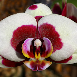 Pretty Orchid by Chrissie Barrow - Flowers Single Flower ( single, red, pink, white, symmetry, yellow, orchid, petals, flower )