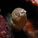 Sharptail Snake Eel