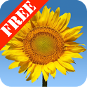 Sunflowers Free Live Wallaper icon