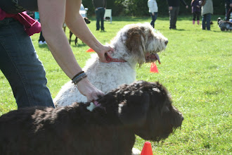 Photo: Lotti Spinone and Tilly Labradoodle