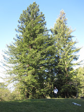 Photo: Redwood (Sequoia sempervirens), planted in 1976