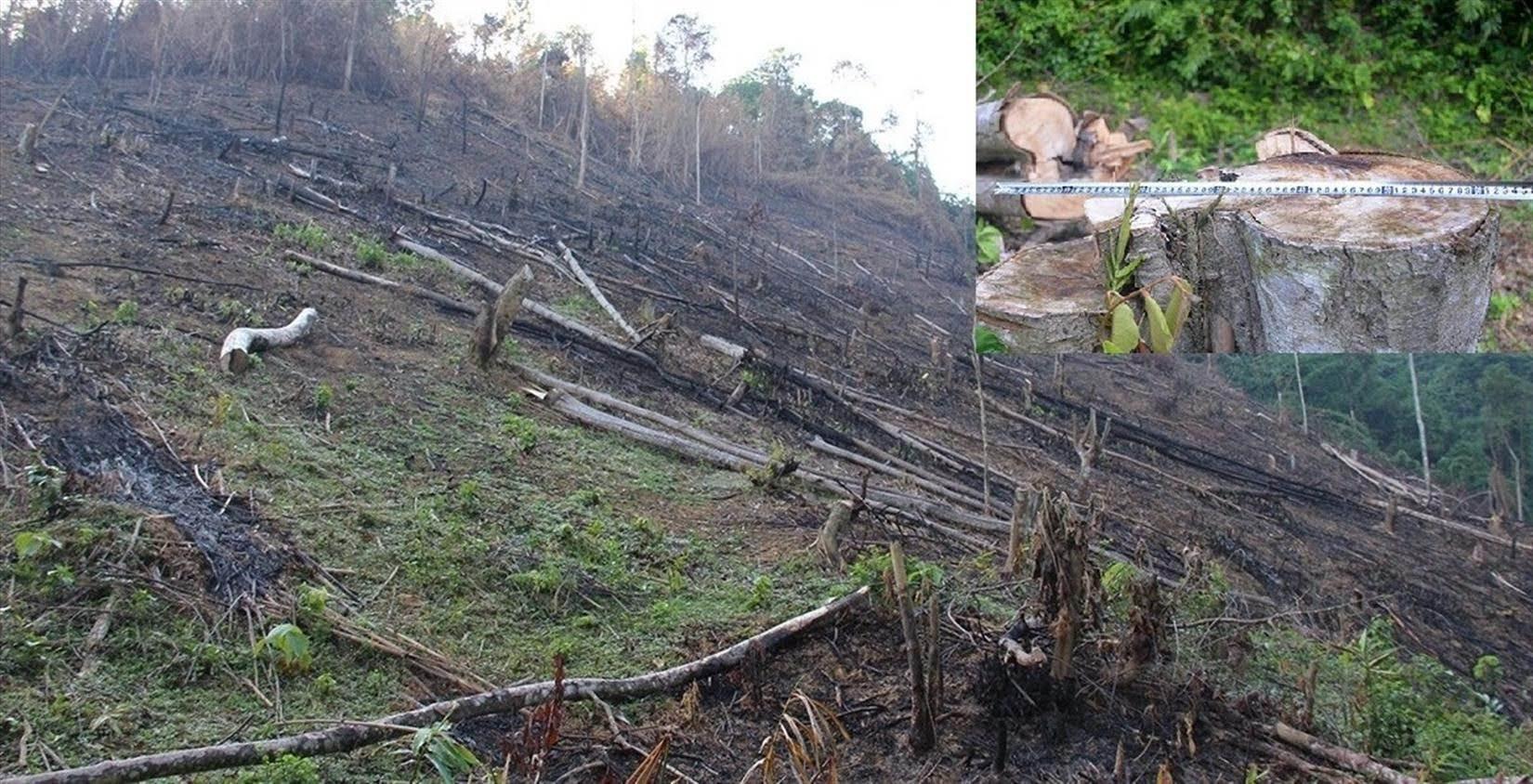 Cận cảnh một gốc cây gỗ bị chặt hạ và khu rừng bị phá của hộ ông Cầm Bá Thơm