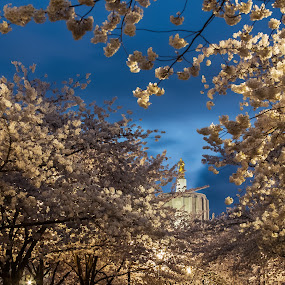 Capitol Hide & Seek by Craig Pifer - City,  Street & Park  City Parks ( oregon capitol, cherry, oregon, park, trees, night, salem, flower, blossom, cherry blossoms )