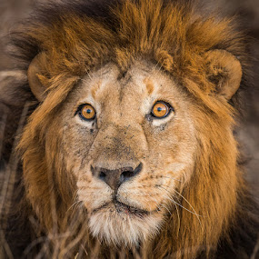 The stare by Joggie van Staden - Animals Lions, Tigers & Big Cats ( wild animal, lion, wild, wildlife, male lion, animal,  )