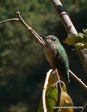 Photo: Calliope Hummingbird, hills above San Blas