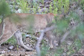 Photo: Mountain Lion