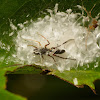 Ant Mimic Jumping Spider