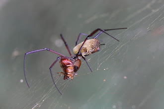 Photo: Nephila orb weaver eating chafer beetle