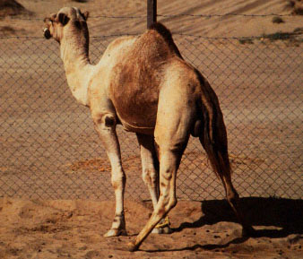 Male rutting behaviour. Note the crouched urinating position of the male with widely spread hind-legs and the tail beating up and down to spread urine over the croup.