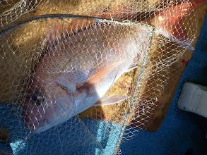 Photo: 全速で何とか上がった今日イチの真鯛!3kgかな?
