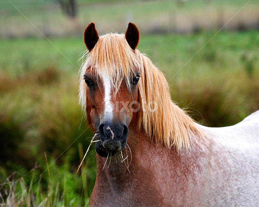 Roan Pony by Glenys Lilley - Animals Horses ( mare, roan, pony, welsh, horse,  )