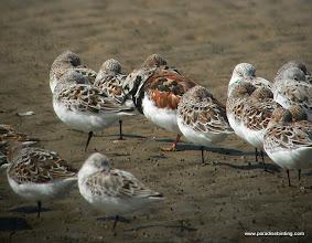 Photo: Sanderlings and Ruddy Turnstone, Bolivar Flats Shorebird Sanctuary, upper Texas Coast