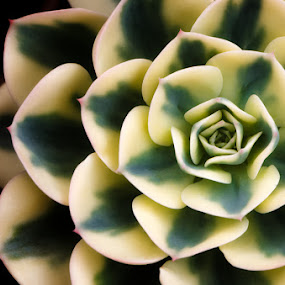 Succulent by Rory McDonald - Nature Up Close Other plants