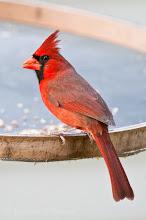 Photo: Cardinal at feeder - Corkscrew Swamp Sanctuary