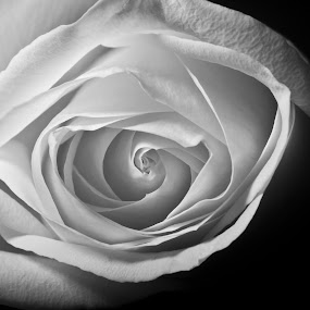 The Rose by Gregg Eisenberg - Novices Only Abstract ( rose, white rose, black and white, flower  close up )
