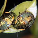 Jewell bug nymphs