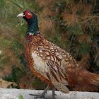 Common pheasant ♂