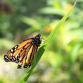 Monarch Butterfly by Sona Decker - Animals Insects & Spiders (  )