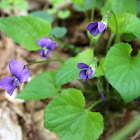 Woolly blue violet