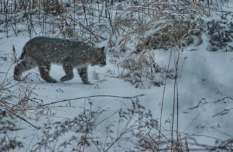 Photo: Bobcat in field behind our house.