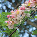 Java Cassia, Pink Shower, Apple Blossom Tree and Rainbow Shower Tree