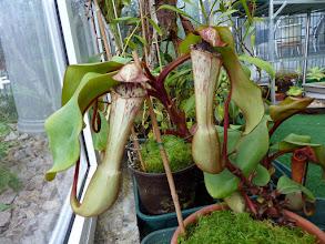Photo: Nepenthes clipeata