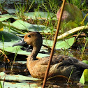 The lesser whistling duck