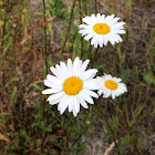 Shasta daisy