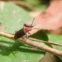 Lema coromandeliana 齒負泥蟲