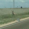 Pronghorn, pronghorn antelope