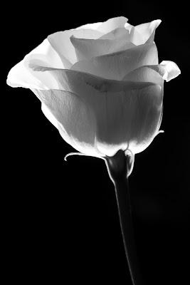 Una rosa bianca di Matteo Masini